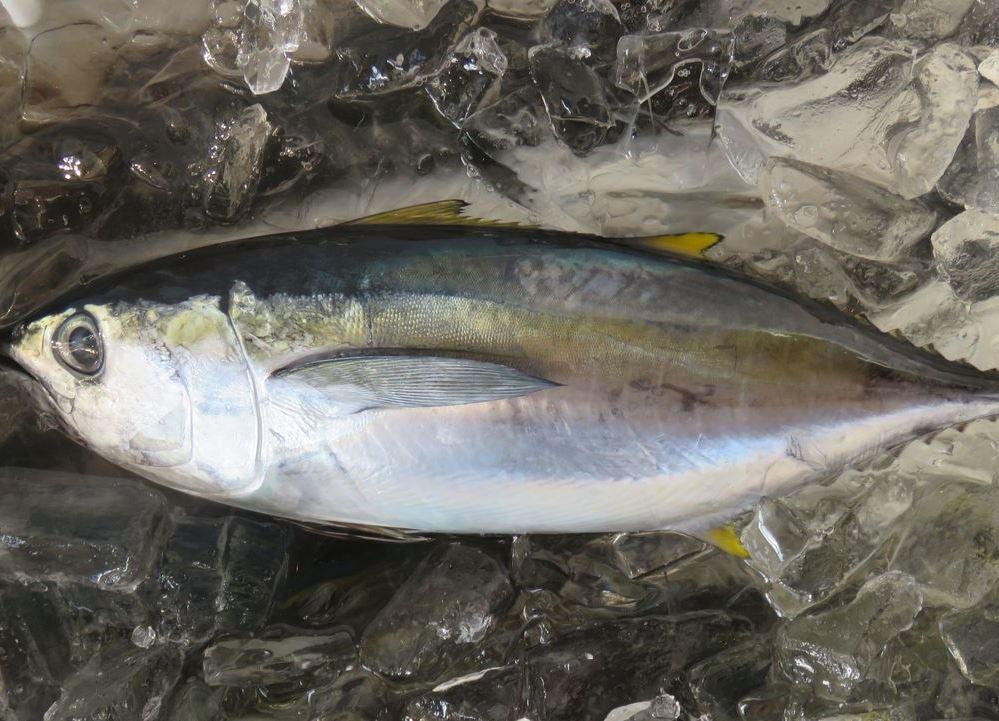 56.キワダ鮪(きわだまぐろ)小型漁船