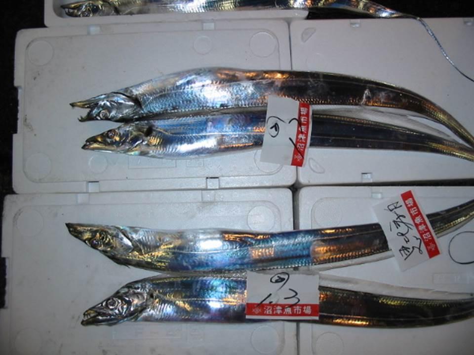 42.太刀魚(たちうお)小型漁船